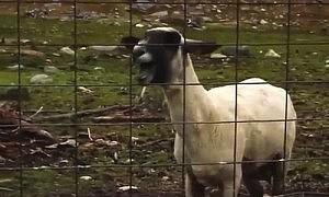 ヤギの雄叫びで名曲を台無しにするYouTubeの「Goat Edition」がヒドい(笑)