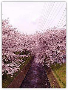 地元平塚市の桜の名所を一日で巡ってきたよ!【2013年版】計5ヶ所をご案内。